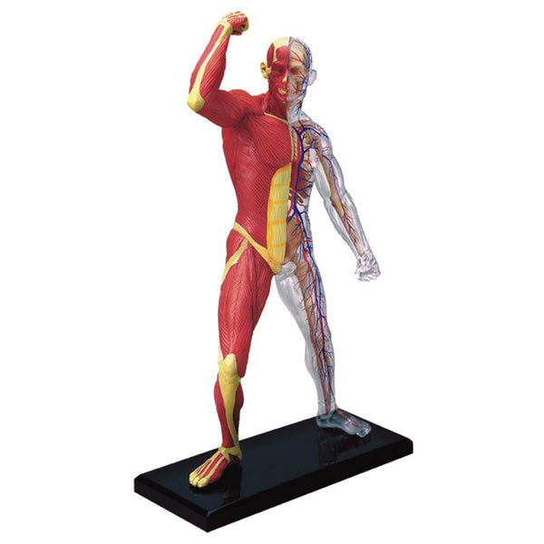 Muscle and Skeleton Anatomy Model