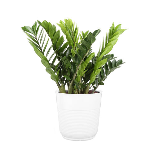 Large ZZ Plant (Zamioculcas zamiifolia) planted in large white planter - G & J Florist