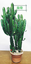 "Load image into Gallery viewer, 19"" to 27 "" tall Euphorbia trigona /African Milk Tree cactus/friendship cactus - G & J Florist"