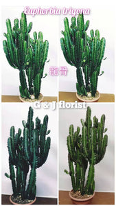 "19"" to 27 "" tall Euphorbia trigona /African Milk Tree cactus/friendship cactus - G & J Florist"