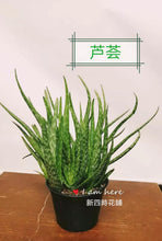 Load image into Gallery viewer, 6 inch pot Aloe Vera Plant - G & J Florist