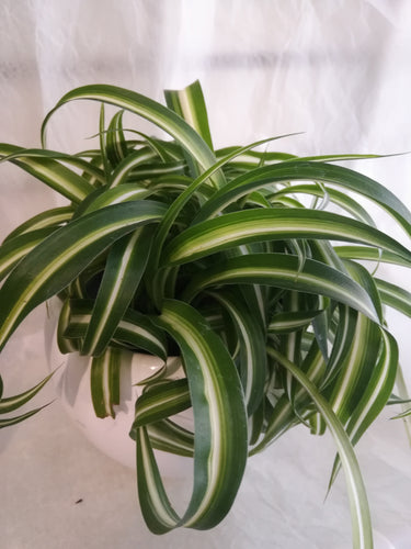Small Spider Plant - G & J Florist