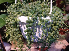 Load image into Gallery viewer, String of Pearls hanging plant - G & J Florist