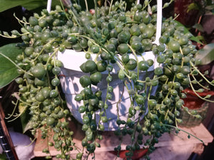 String of Pearls hanging plant - G & J Florist