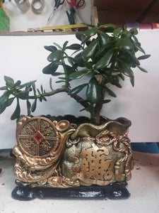 Large Jade plant with Chinese Money fortune planter - G & J Florist