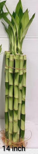 "Lucky Bamboo collection from 4"" to 60"" - G & J Florist"