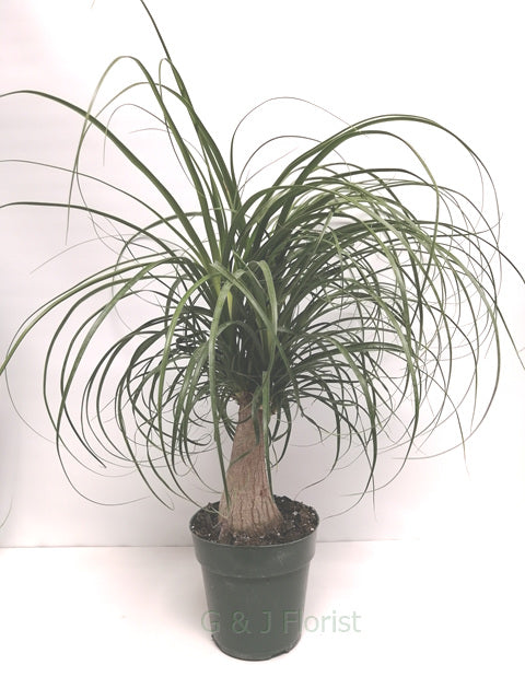 Medium Ponytail Palm - G & J Florist