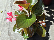 Load image into Gallery viewer, Medium begonia - G & J Florist