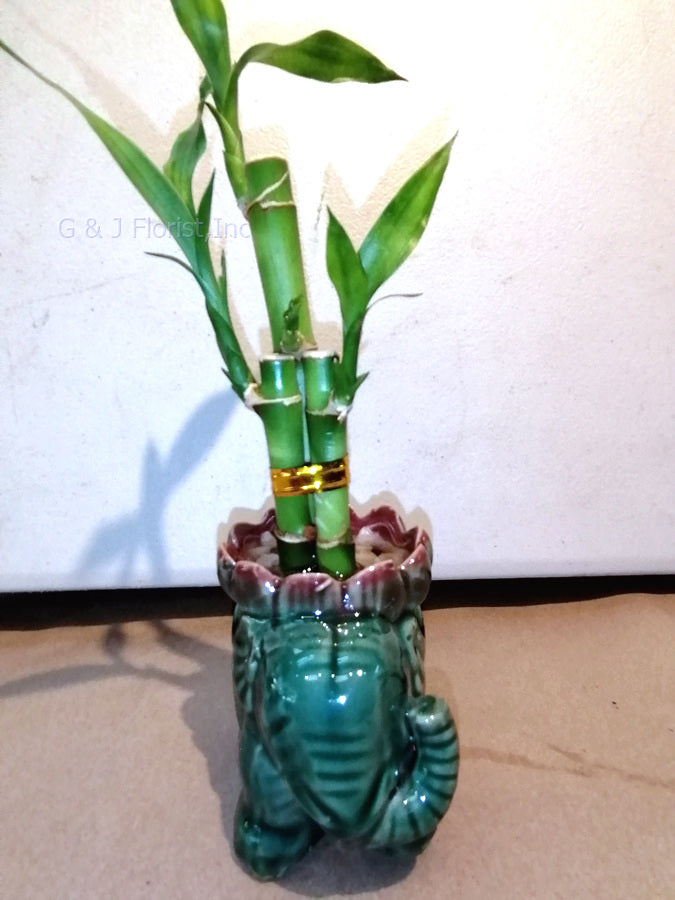 Lucky bamboo in small distribute pots - G & J Florist