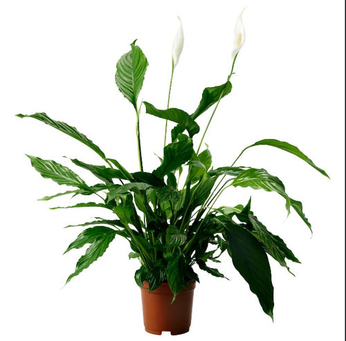 Small Peace Lily (Spathiphyllum ) - G & J Florist