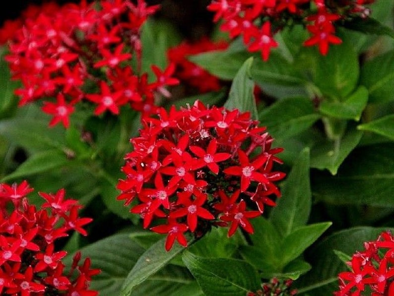 red pentas ianceolata in 8 inch pot (new) - G & J Florist