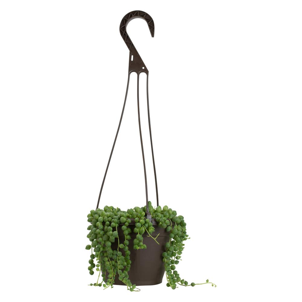 String of tear hanging plant - G & J Florist