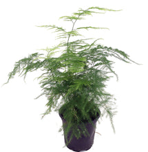 Load image into Gallery viewer, Small Asparagus Fern - G & J Florist
