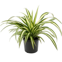Load image into Gallery viewer, Small Spider Plant - G & J Florist