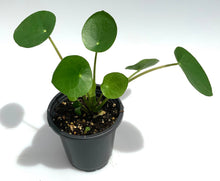 Load image into Gallery viewer, Small Pilea peperomioides - G & J Florist