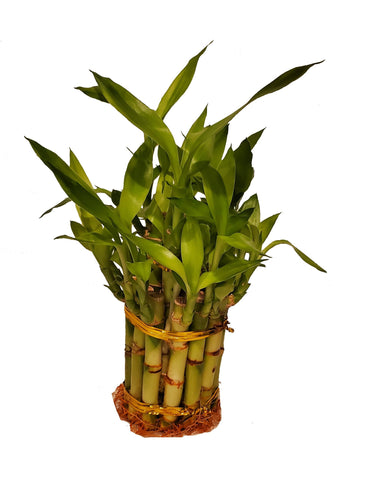 2 Small Tier Lucky Bamboo - G & J Florist