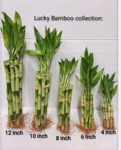 Lucky Bamboo collection from 4