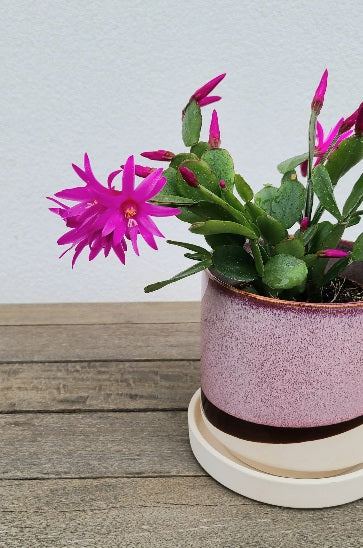 Spring Cactus in 3 inch pot