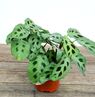 Prayer Plant Small