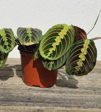 Prayer Plant large