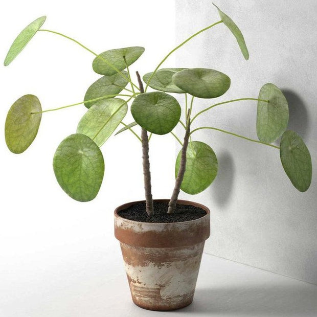 "Pilea Plant Small 3"" in Pot"