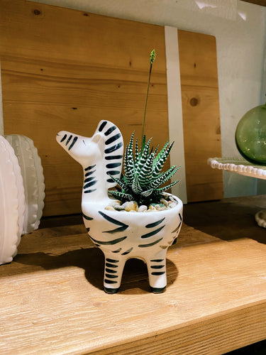 DIY Indoor Kit: Succulent Zebra