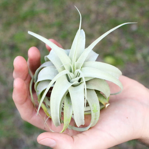 Seedling Tillandsia Xerographica