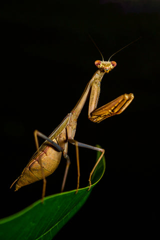 praying mantis, mulberry greenhouses, greenhouses, plants, gardening, pest control, natural pest control