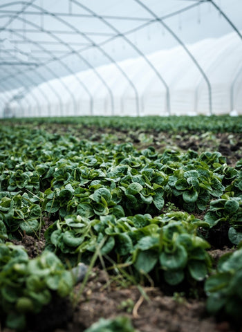 Crops growing in a greenhouse