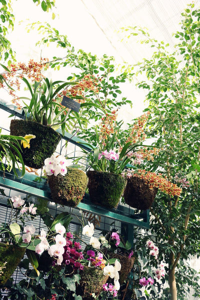 orchids, greenhouses, greenhouse, mulberry greenhouses, flowers, growing plants in a greenhouse