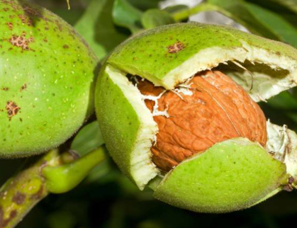 Shea Fruit with the Shea Nut within