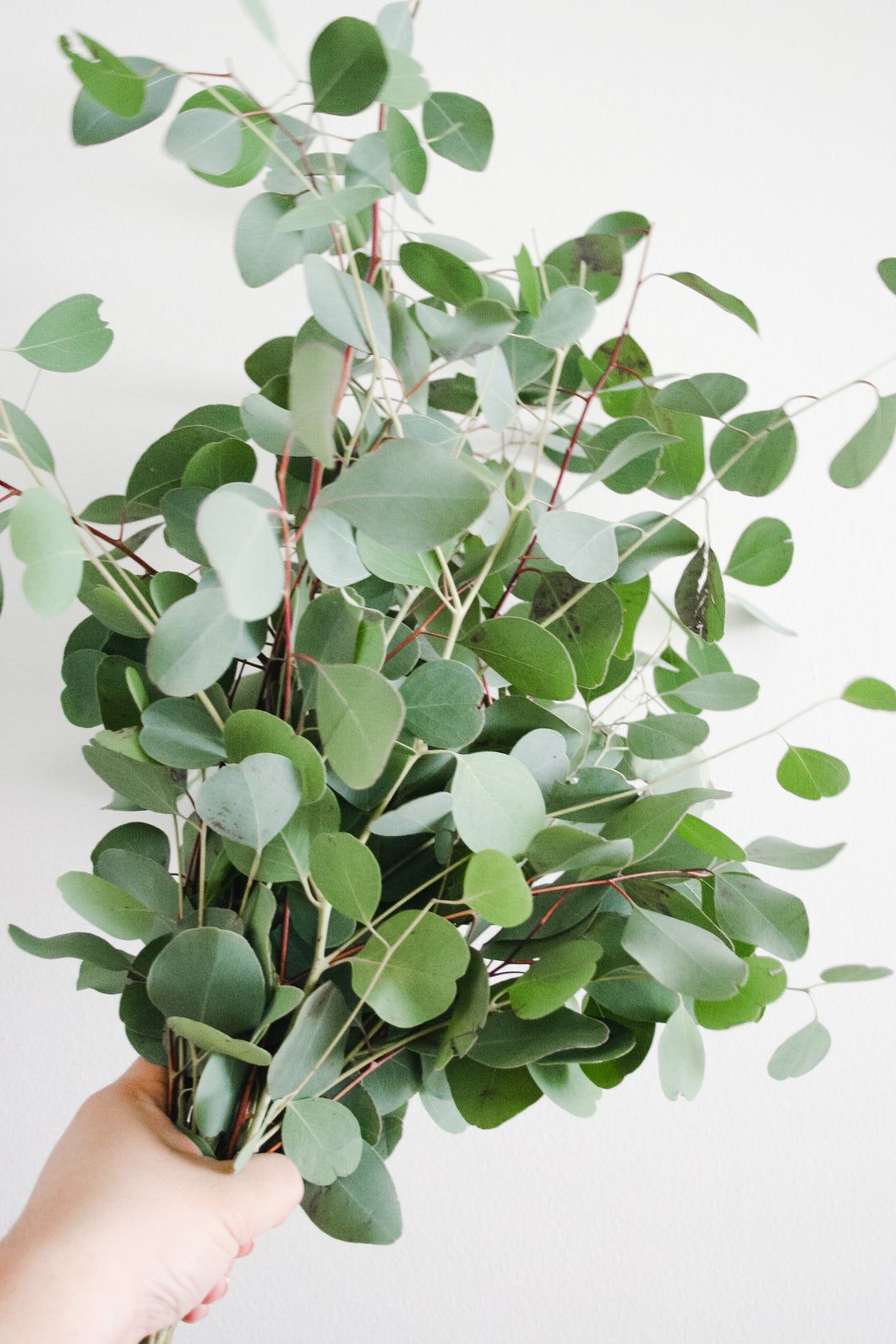 Fresh Dollar Eucalyptus Bunch