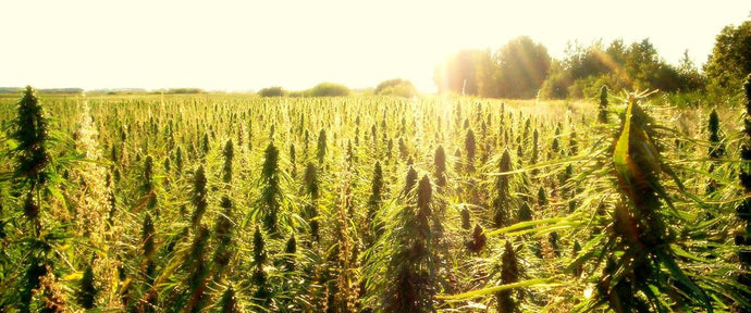 9 MOST INTERESTING FACTS ABOUT HEMP