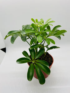 Schefflera arboricola / Mini Umbrella Tree