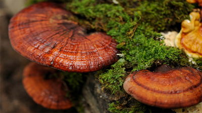 How Super Mushrooms Have Benefited Our Lives Since Ancient Times