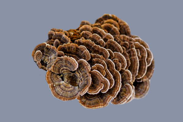 Turkey Tail Mushroom | The 6 best medicinal mushrooms, by benefit (according to science) | chaga, reishi, turkey tail, cordyceps, lion's mane, and shiitake | Zoomer's Myco Foods | super food. super coffee. super life.