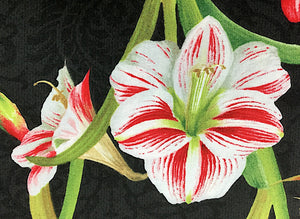 Close up of white and red amaryllis