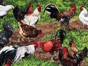 Close up of roosters and chickens in a yard.