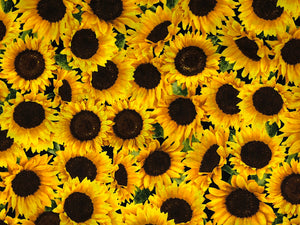 Cotton fabric covered with sunflowers.