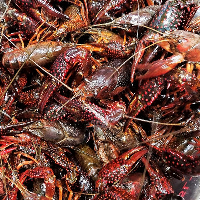 jumbo live louisiana Crawfish