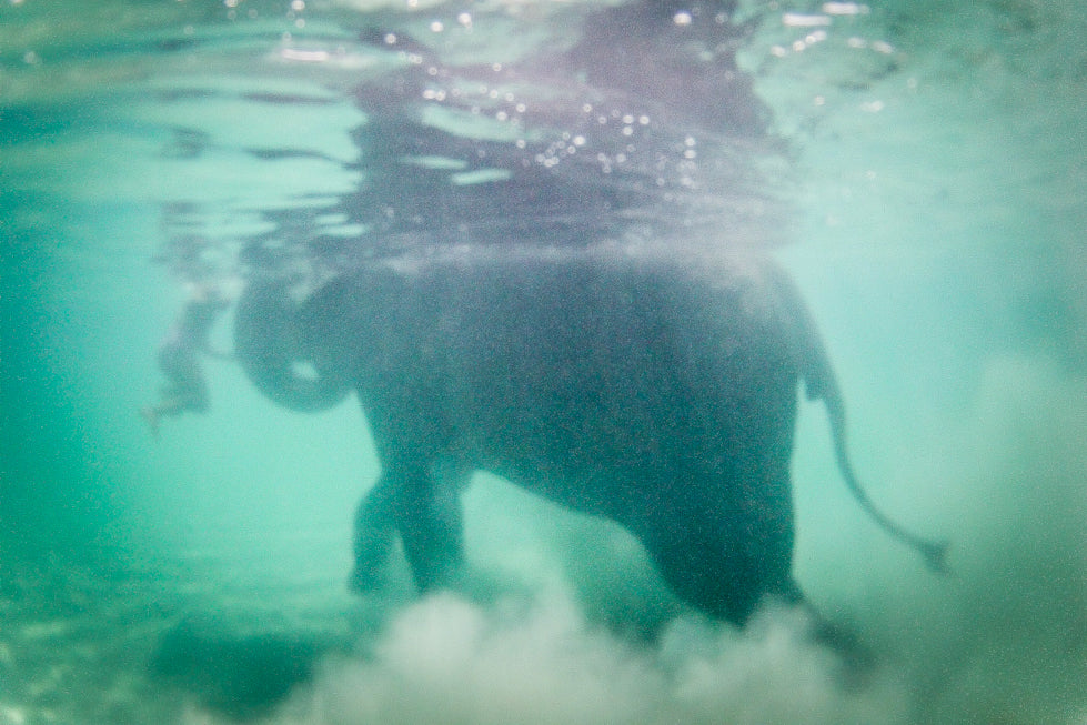 Swimming Elephant By Thu Tran