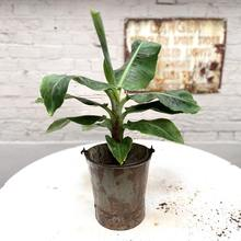 Mini Banana Plants are the perfect interior house plants matched with a retro or vintage tin pot for urban jungle lovers
