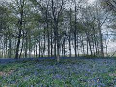 ground covered in bluebell flowers with trees in the back ground