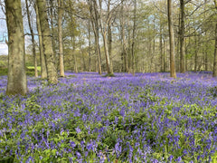 pretty purple bluebell covered woodland floor bed with large trees in the background