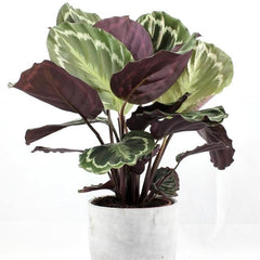 Purple and green vibrant leaves for an indoor urban jungle look