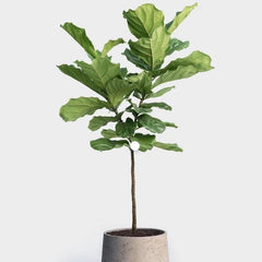 Real plants for a gorgeous corner of a room – this tall hardy interior plants is from Western Africa and offers a beautiful canopy that helps you relax