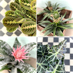 a collage of 4 tropical plants photographed from above, alocasia, elephant's ear, maranta, pineapple and Aechmea