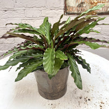 Load image into Gallery viewer, Calathea 'rattlesnake'