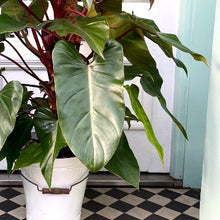 Load image into Gallery viewer, Philodendron 'Red Emerald'