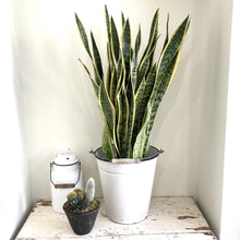 Load image into Gallery viewer, Large Sansevieria